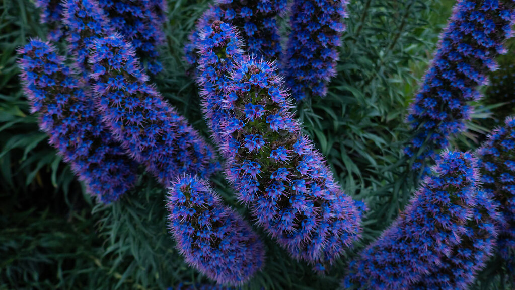 Flowers-blue-20180524-0234.jpg